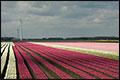 Nederlandse bloementransporteurs extra gecontroleerd aan Russische grens