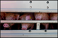 CIWF wil Nationaal Hitteplan voor veetransporten