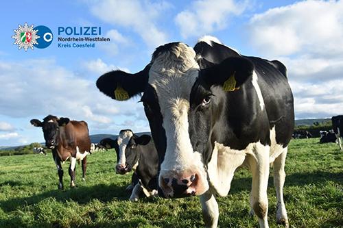 Koeien blokkeren Duitse A1