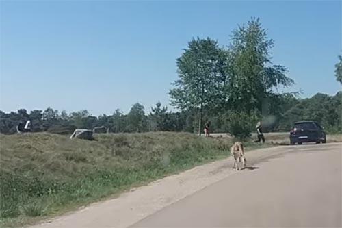 Gezin maakt 'uitstapje' tussen de jachtluipaarden in safaripark Beekse Bergen [+video]
