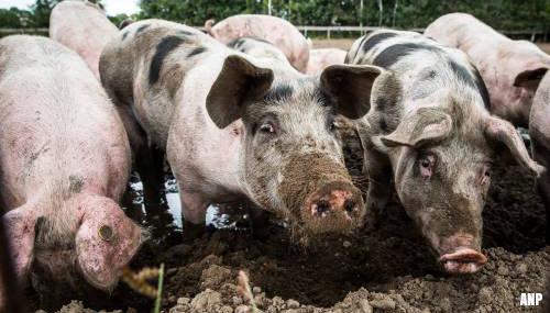 Varkens door vloer gezakt en in gierkelder omgekomen