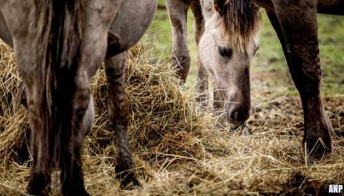 Konikpaarden Oostvaardersplassen blijven waar ze staan