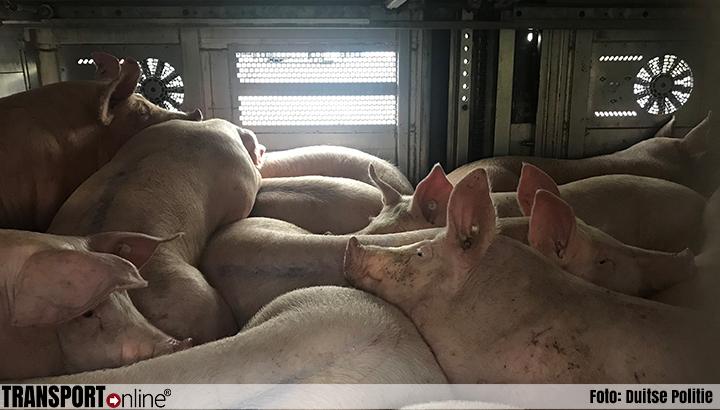 Nederlands overbeladen varkenstransport van de weg gehaald in Duitsland [+foto]