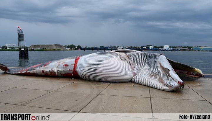 Walvis meegevoerd door schip naar Terneuzen [+foto]