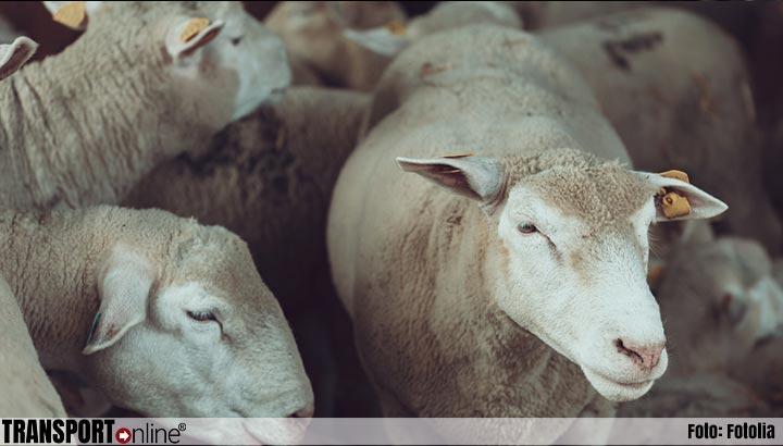 Slechts enkele schapen van vorige week gekapseisd schip gered