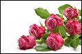 Per schip vervoerde rozen goed houdbaar